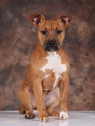 Honey, chien American Staffordshire Terrier