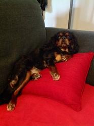 Honey , chien Cavalier King Charles Spaniel