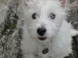 Honey, chien West Highland White Terrier