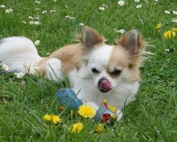 Honey Du Clos Kemorick, chien Chihuahua
