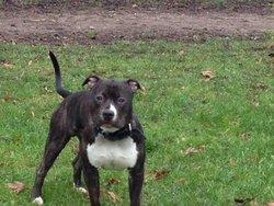 Honix, chien American Staffordshire Terrier