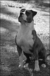 Honor, chien American Staffordshire Terrier