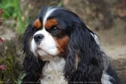 Rip Honye, chien Cavalier King Charles Spaniel