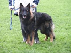 Haxo Du Bois Francais, chien Berger allemand