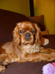 Hooch, chien Cavalier King Charles Spaniel