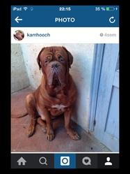 Hooch , chien Dogue de Bordeaux