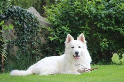 Hook, chien Berger blanc suisse