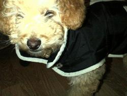 Hooki, chien Caniche