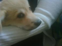 Hookie, chien Welsh Corgi