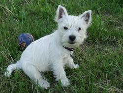Hooky, chien West Highland White Terrier