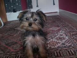 Hooky , chien Yorkshire Terrier