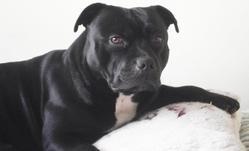 Hooligan, chien Staffordshire Bull Terrier