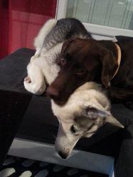 Hooligan, chien Labrador Retriever