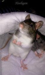 Hooligan, rongeur Rat