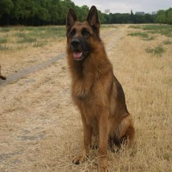 Hooper, chien Berger allemand