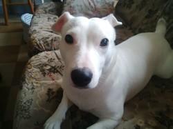 Hooper, chien Jack Russell Terrier