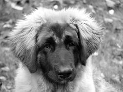 Hooper, chien Leonberger