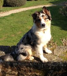Hooper, chien Berger australien