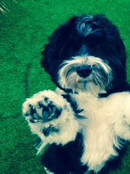 Hoover, chien Bichon havanais