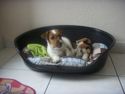 Hoover, chien Jack Russell Terrier