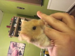 Hop, rongeur Hamster