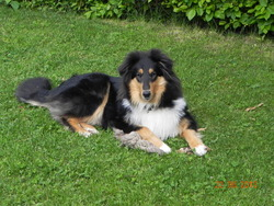 Hope, chien Colley à poil long