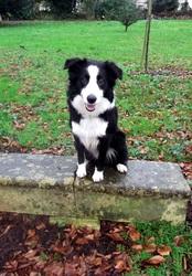 Hope, chien Border Collie
