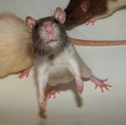 Hope Rip, rongeur Rat