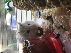 Hope, rongeur Hamster
