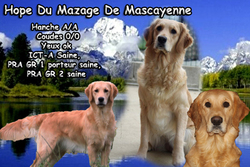 Hope Du Mazage De Mascayenne, chien Golden Retriever