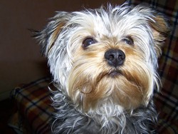 Hoppy, chien Yorkshire Terrier
