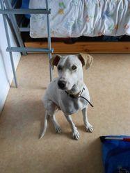 Hopy, chien Podenco portugais