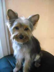 Hopy, chien Yorkshire Terrier