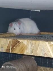 Horace, rongeur Rat