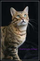 Horace Du Chitwan, chat Bengal