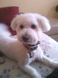 Horacio, chien Bichon à poil frisé