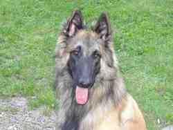 Horik, chien Berger belge