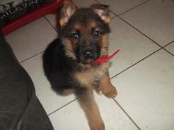 Horka, chien Berger allemand
