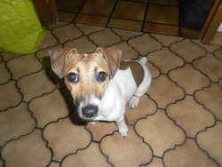Horna, chien Jack Russell Terrier