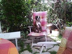 Horphee, chien Boxer