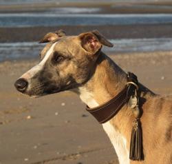 Horsewip Gold Figolu, chien Whippet