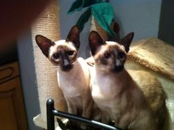 Hortance Hyacint, chat Siamois