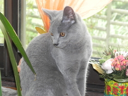 Hortence, chat Chartreux