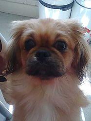 Hortense, chien Pékinois