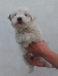 Hortense, chien West Highland White Terrier