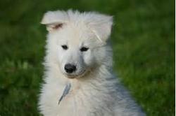 Horus, chien Berger blanc suisse