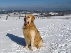 Horus, chien Golden Retriever