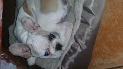 Horus, chien Bouledogue français