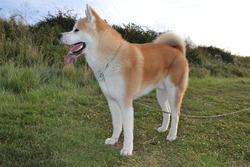 Hoshi, chien Akita Inu