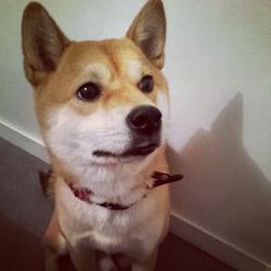 Hoshi, chien Shiba Inu